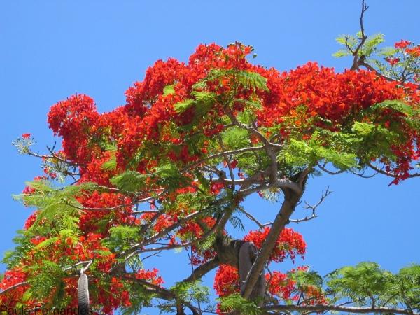 Flamboyant en fleurs. © Cirad, P. Fernandes