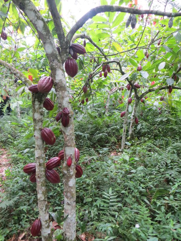 Cacaoyer en Afrique centrale. © Cirad, V. Pagani