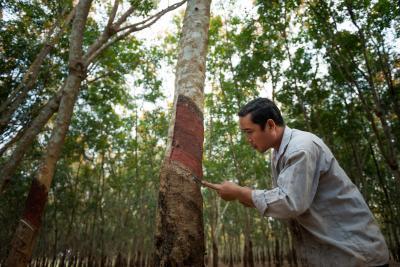 Hévéaculture en Asie. © Cirad
