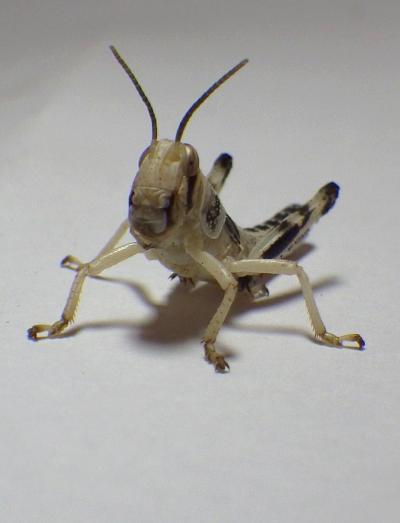 Desert locust © D.R.