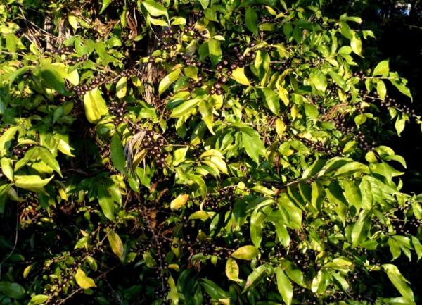 Coffea stenophylla, dont les grains sont noirs, est une espèce aujourd'hui quasiment disparue (inscrite à la liste rouge de l'UICN des espèces menacées) © E. Couturon, IRD