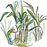 Illustration filière canne à sucre.