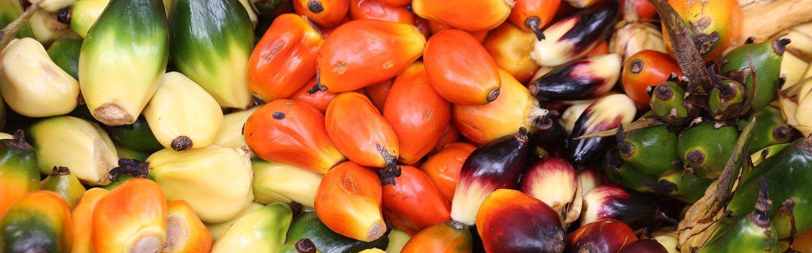 Palmier à huile © A. Rival, Cirad
