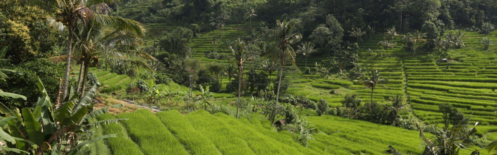 Rizières de Jatiluwih. Cocotiers en bordure de parcelle pour bornage (Indonésie). © Alain Rival, Cirad