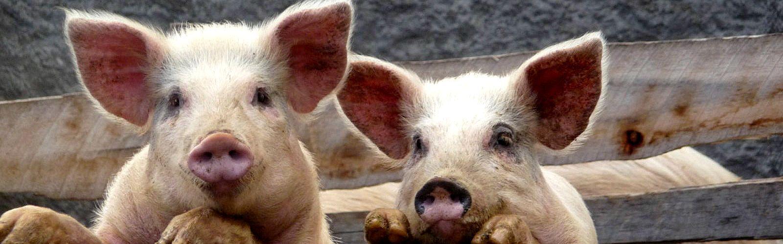 Elevage porcin dans une exploitation péruvienne. P.-Y. Le Gal © Cirad