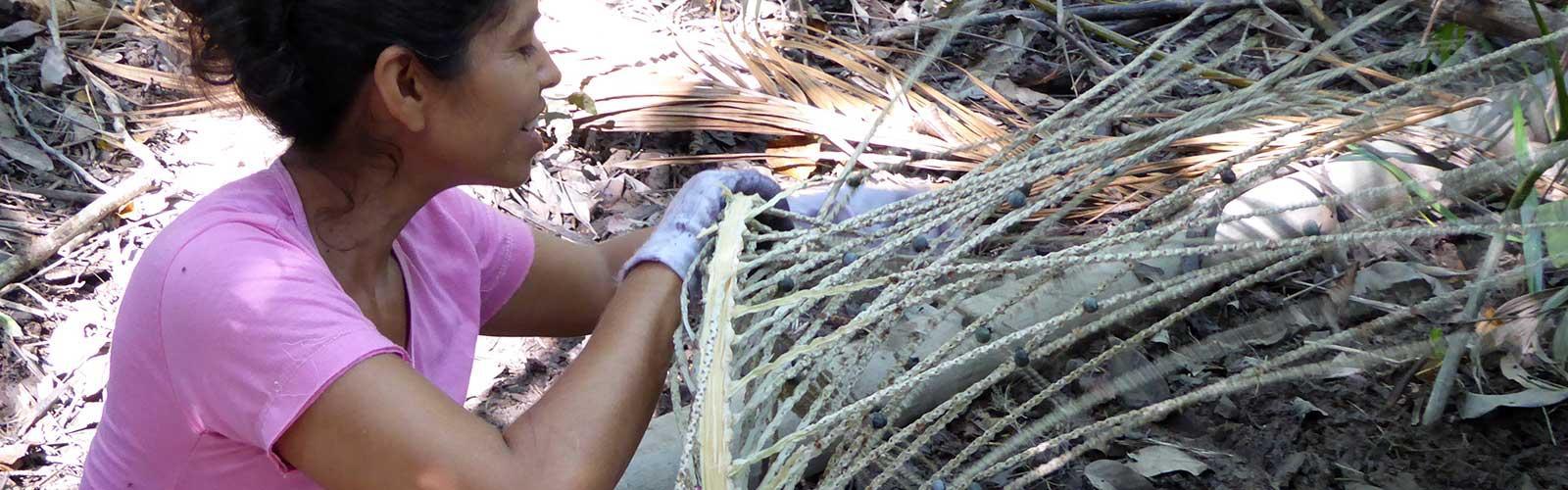 Egrappage de l'açaí en forêt. © N. Cialdella, Cirad
