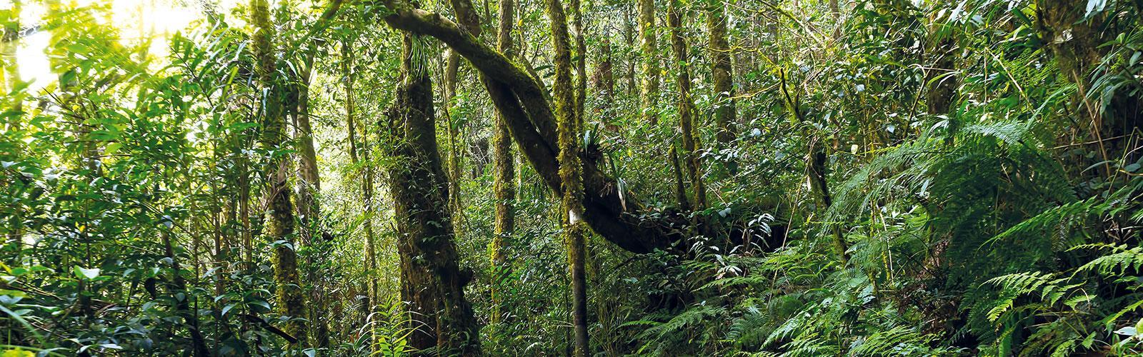 Forêt humide naturelle, parc Kinabalu, Malaisie.  © Mrfiza, Adobe Stock